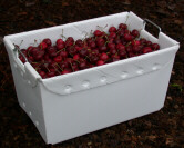 Cushion and protect your fruit with corrugated plastic harvesting totes