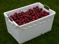 Easily pick fruit into polypropylene harvesting totes from Farm Wholesale