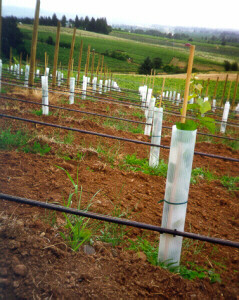 Grow tubes helpt to accellorate the growth of young grape vines