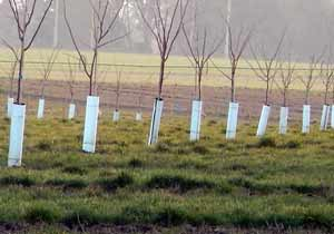 Black and White corrugated plastic tree guards protect young trees.
